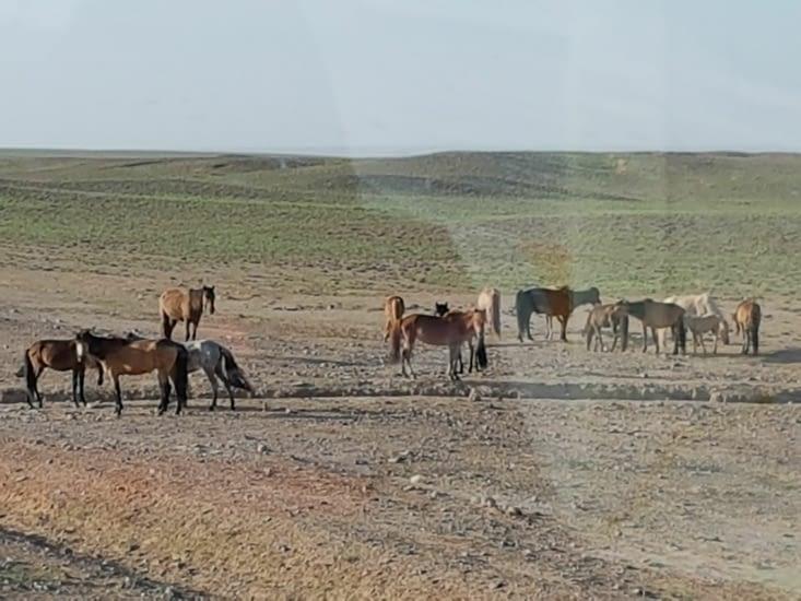 derniere image des chevaux mongols vivant en liberté
