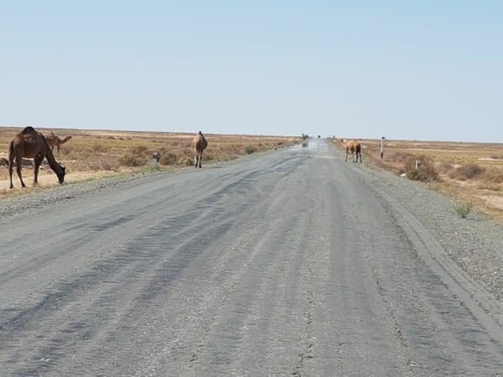 Des chameaux en liberté sur la route!