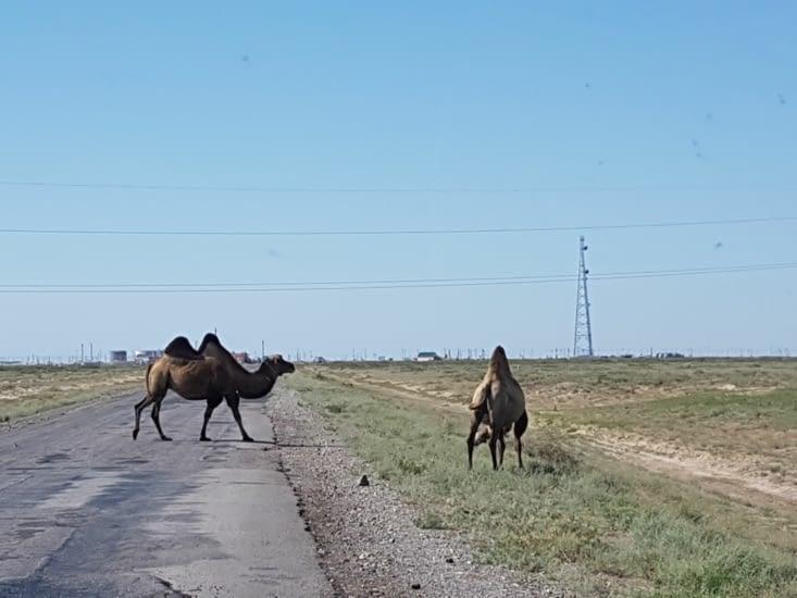 Priorité aux chameaux!