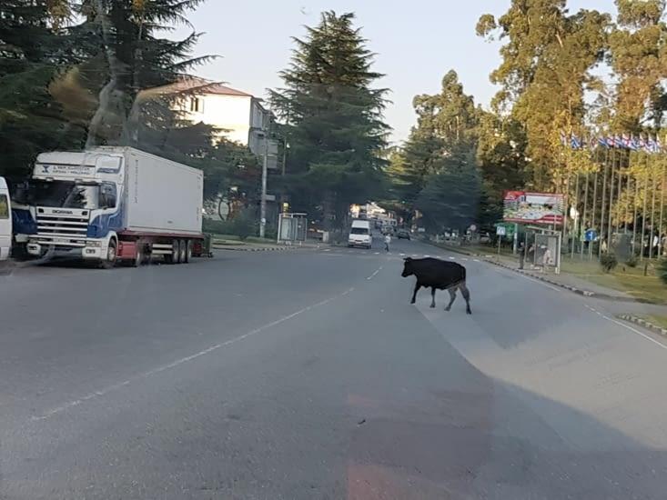 En Géorgie les vaches sont en liberté comme dans tous les pays visites depuis la Chine