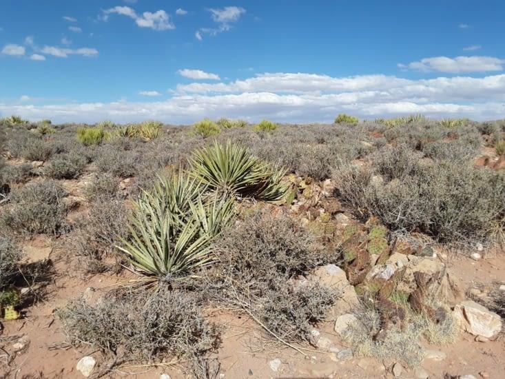 Voici la végétation de la région yucca et petit cactus