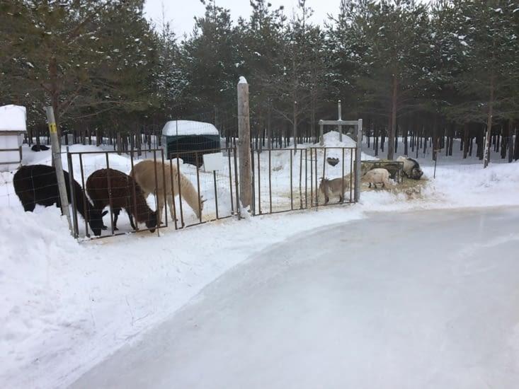 Lamas et chèvres le long du parcours