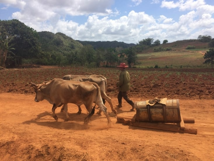 Un paysan et ses bœufs