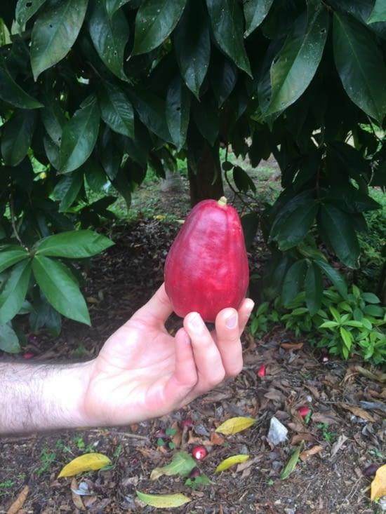 Pomme Malacca (ou pomme d'eau)