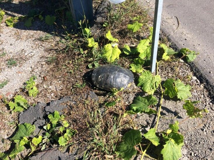 Que fais-tu ici petite tortue ?!