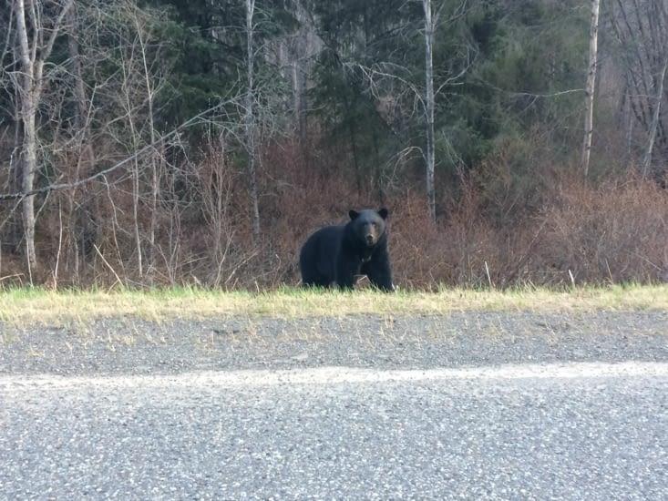 Ours noir dérangé pendant son diner