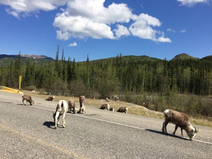 Mouflons canadiens