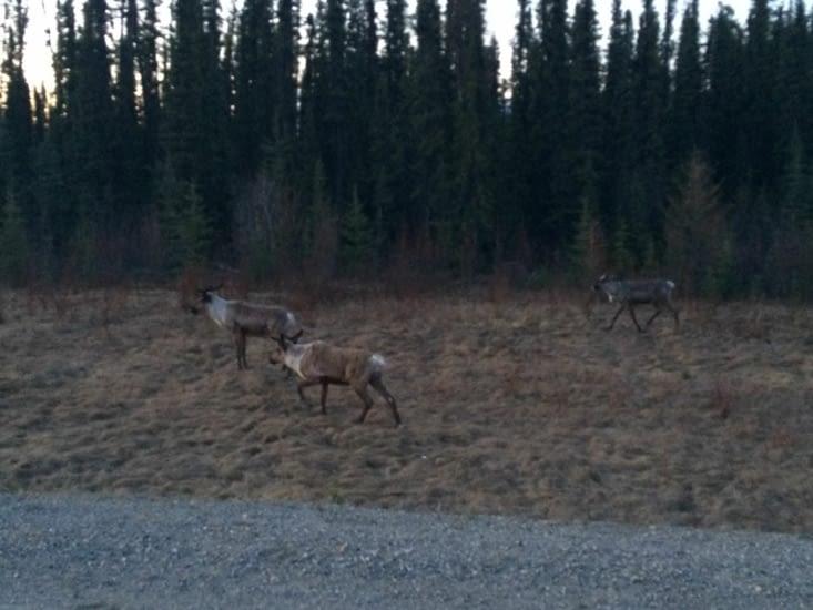 Des caribous !!