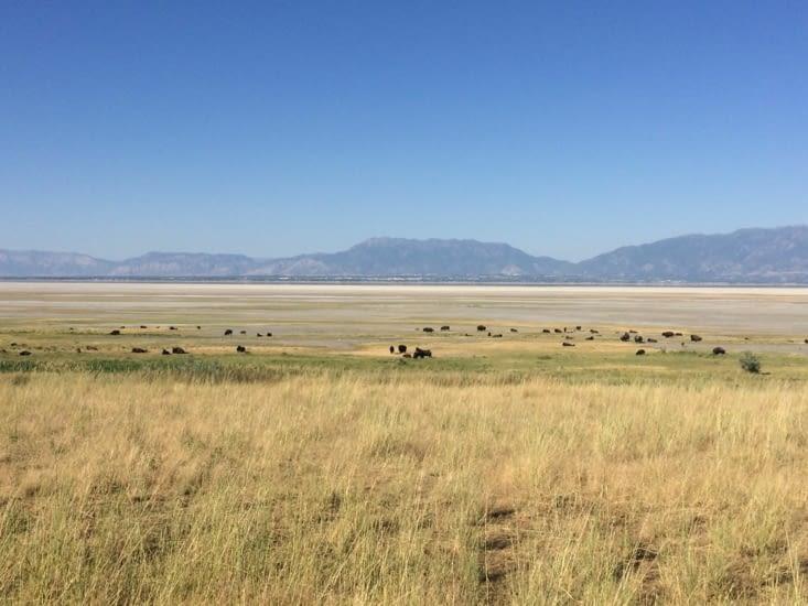 Des bisons d'Amérique par dizaines !