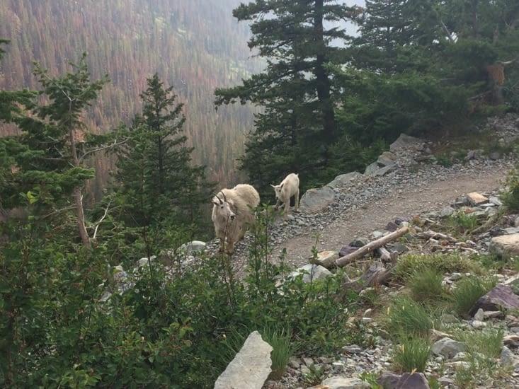 Chèvre des montagnes Rocheuses