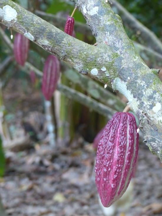 Les cacaotiers