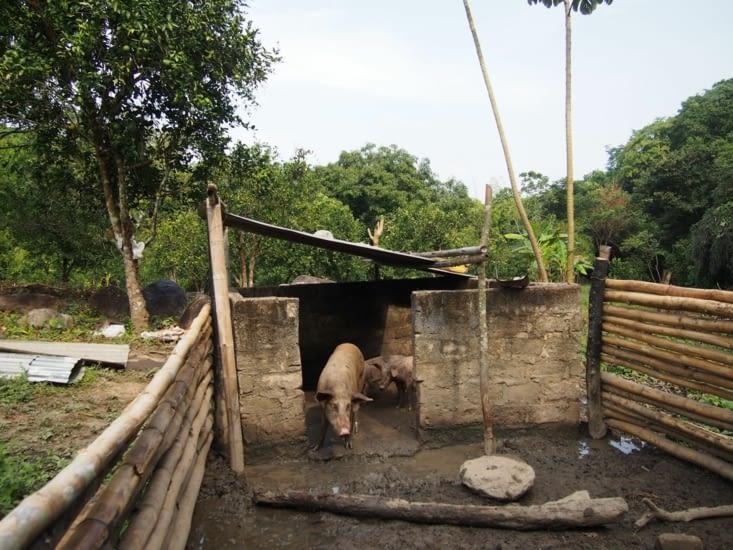 ]Nos autres missions a la ferme sont de planter des arbres, nourir les cochons ho ye, sécher et moudre le café