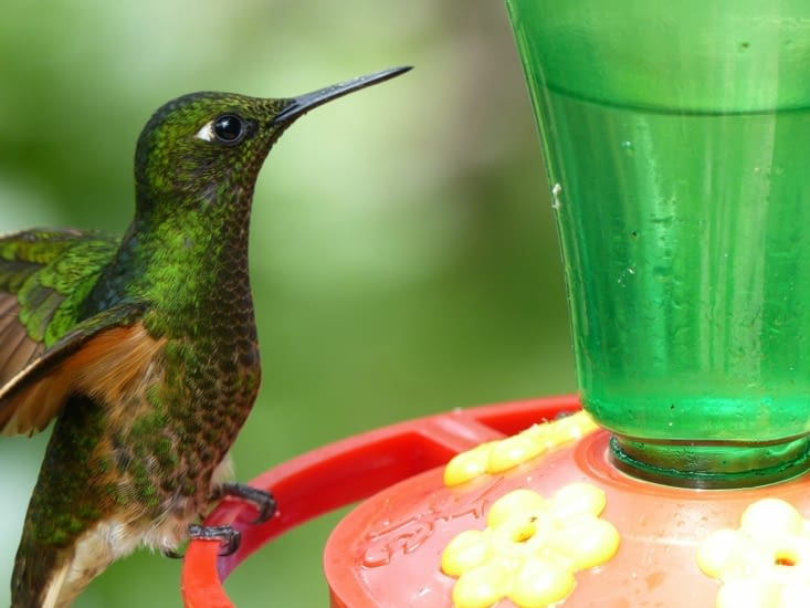 colibri joli
