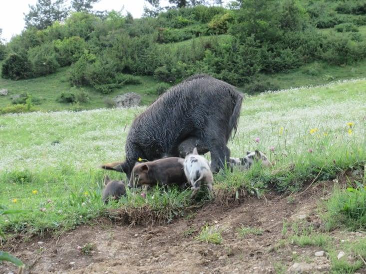 Cochons géorgiens rencontrés sur le chemin