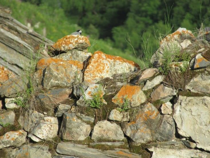 Observation de la faune : bergeronnette qui passait par là