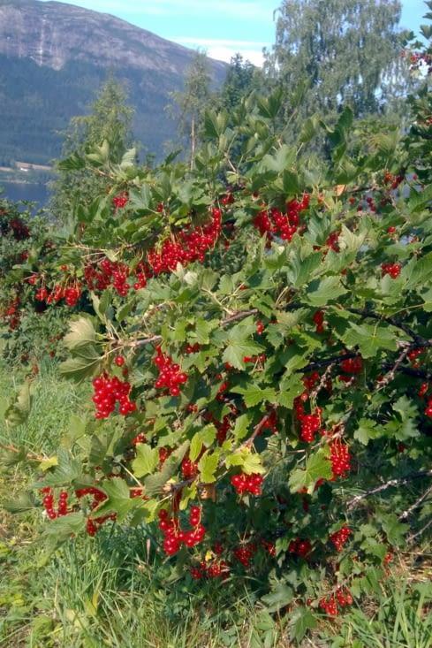 La saison est exceptionnellement sèche, mais la récolte des groseilles est abondante.