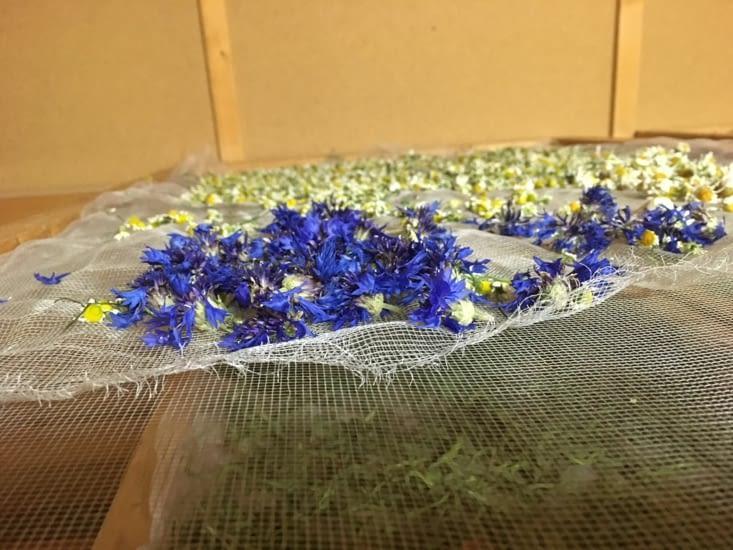 Les fleurs cueillies sont mises à sécher pour en faire des tisanes bio.