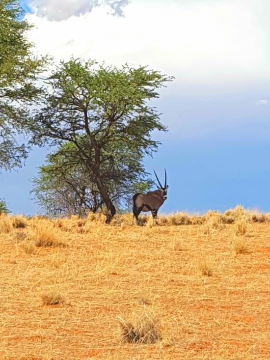 Notre premier Oryx