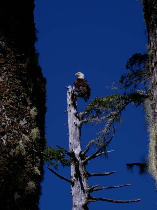 Maitre aigle perché sur un arbre