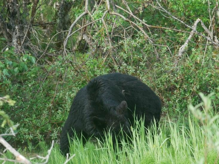 Ours noir bien occupé