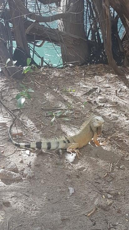 Iguane tape la pause