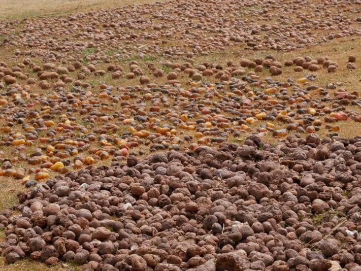 """Tri des """"papas"""" alias pommes de terre"""
