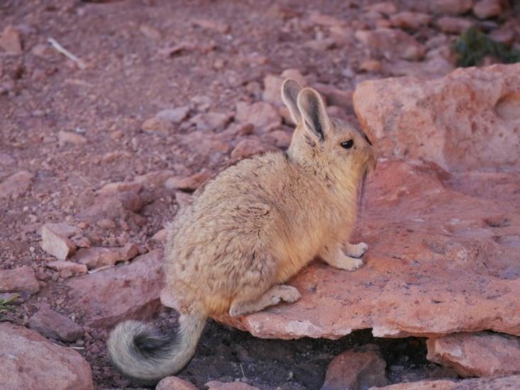 Pause Viscacha (lapin à queue d'écureuil)
