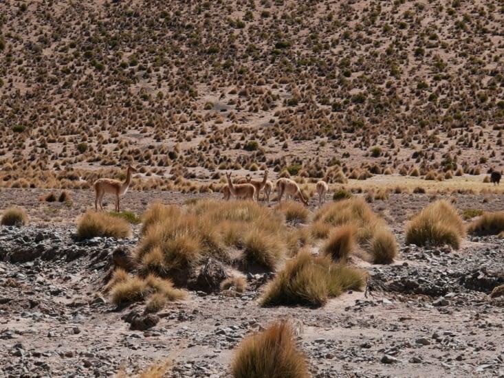 Jolies vicuñas