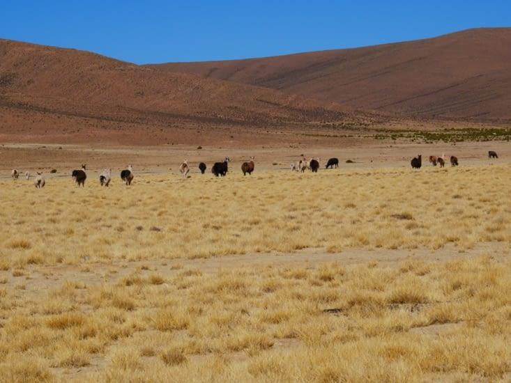 Premier troupeau de lamas