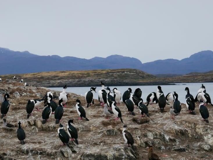 Des pingouins ? Non des cormorans