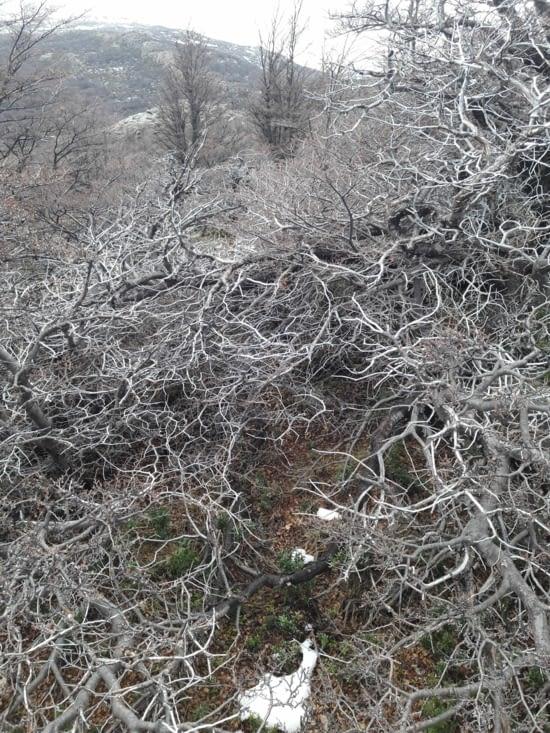 Le bois argenté
