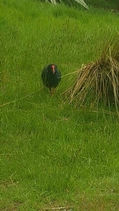 Un Takahe