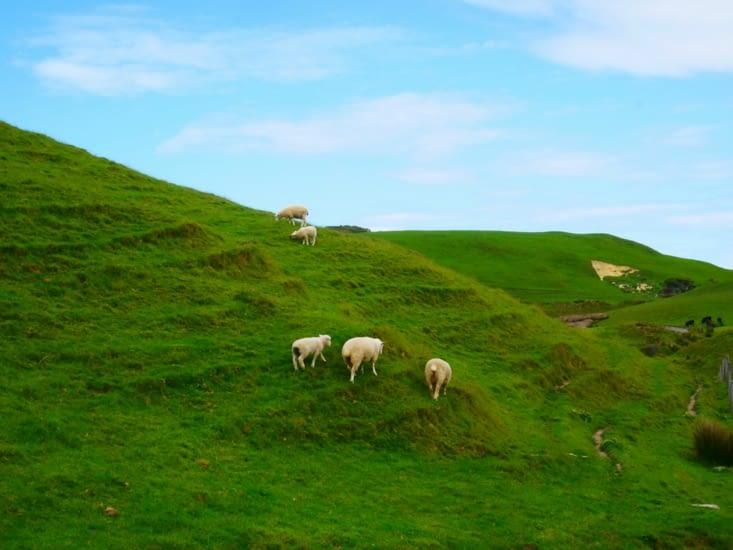 Envahis par les moutons