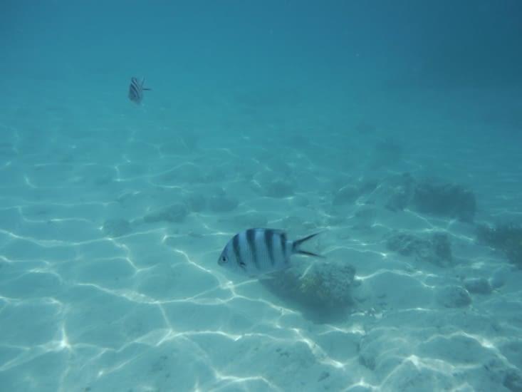 1er poisson
