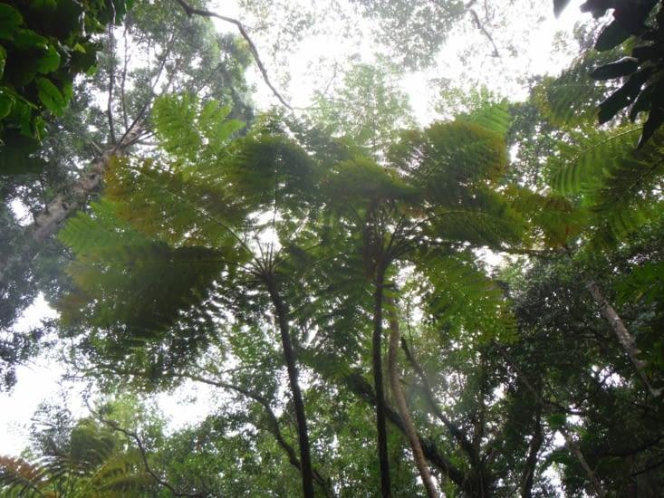 Fougère arborescente endémique