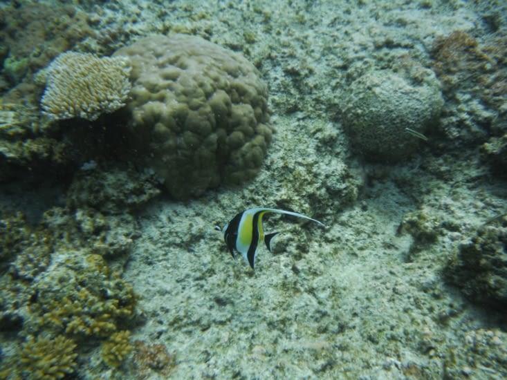 Zancle Cornu ou chef de l'aquarium dans Némo
