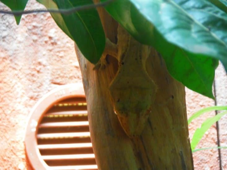 Gecko à crêtes