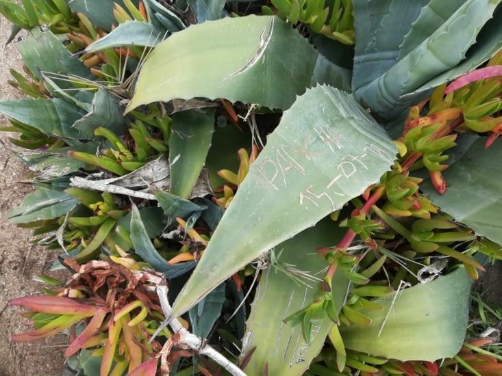 Des cactus sur lesquels les gens gravent des noms et des dates.