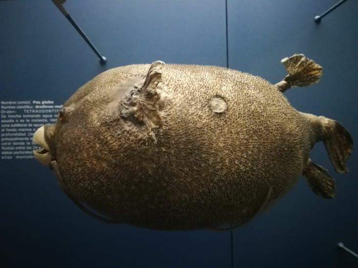 Un fugu, ou poisson globe