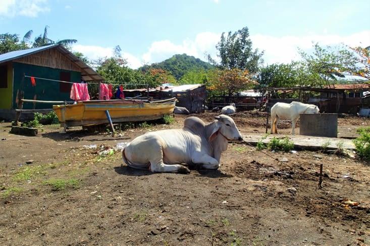Après un trajet bien arrosé, nous voilà sur les bases du volcan. Bizarre cette vache !