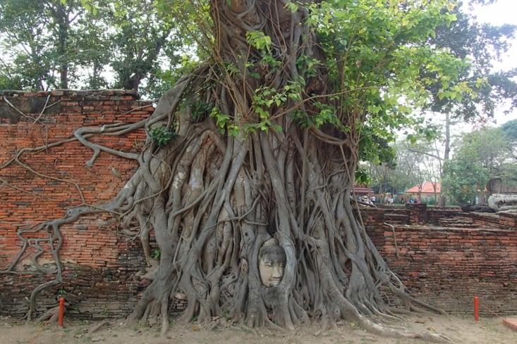 Wat Phra Mahathat. Trop stylé la tête de Buddha emprisonnée dans les racines !
