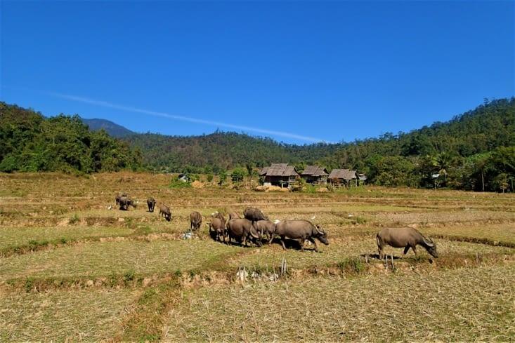 Encore des buffalos au milieu des rizières, on ne s'en lasse pas !
