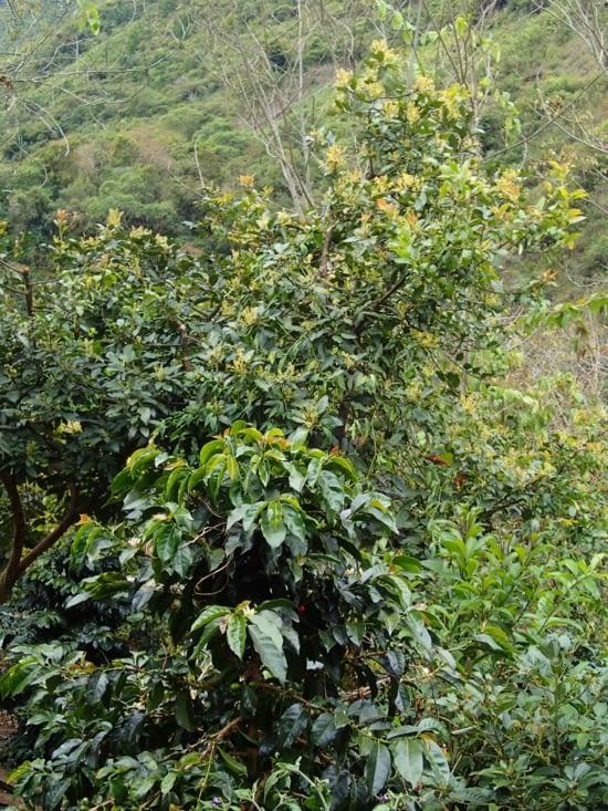 Passage dans une plantation de cafétiers (au 1er plan) et d'avocatiers (derrière).