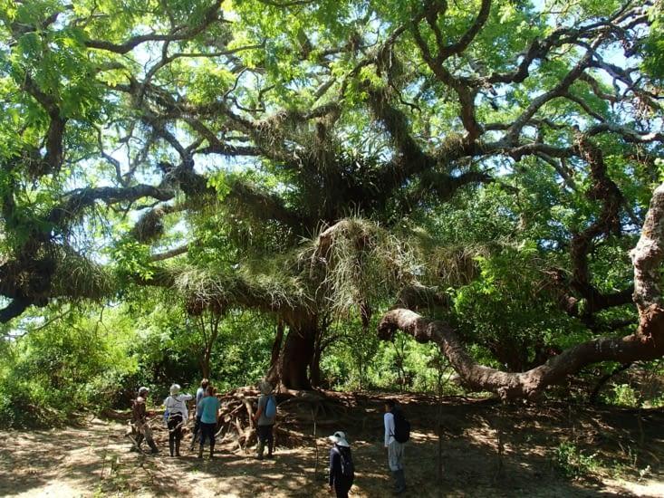 Bon pas d'anaconda mais on tombe sur un arbre tri-centenaire. Tout simplement magnifique !