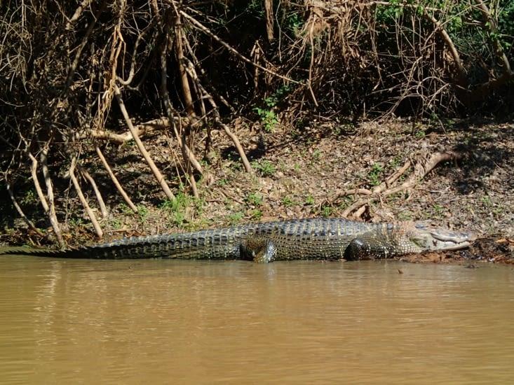 Un caïman noir de 5m ! C'est le plus grand des crocodiliens américains.