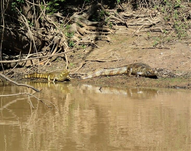 Les 2 cousins réunis. A gauche un caïman, à droite un alligator.