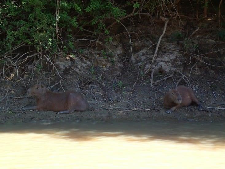 Beaucoup de capybaras aussi. Ce sont les plus gros rats du monde (jusqu'à 1m35 pour 65 kg)