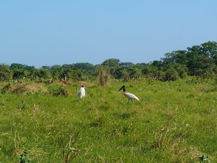 Des marabouts. Ce sont les plus grands oiseaux de l'Amazonie. Digne de Jurassic Park !