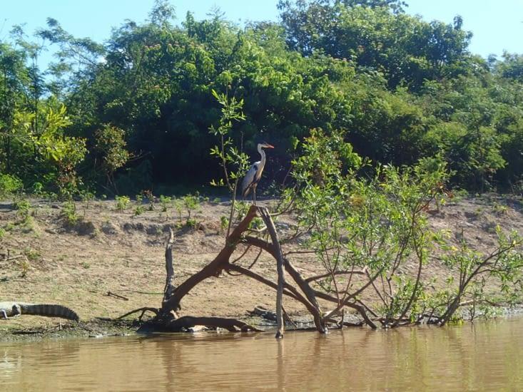 Un héron qui semble zyeuter la rivière à la recherche de poissons.