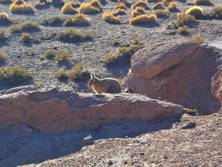 Mi lapin, mi écureuil avec sa queue qui rebique. Chelou ce spécimen !